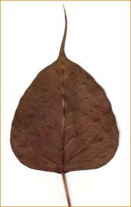 bhoddi leaf jpg