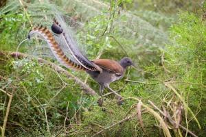lyre bird 03